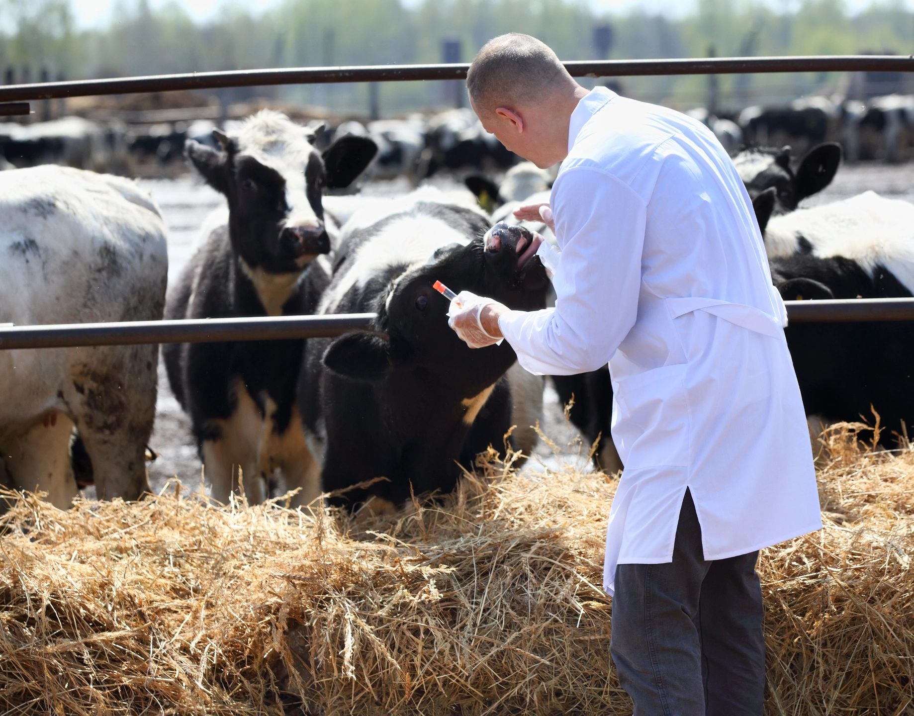 Vet with cows